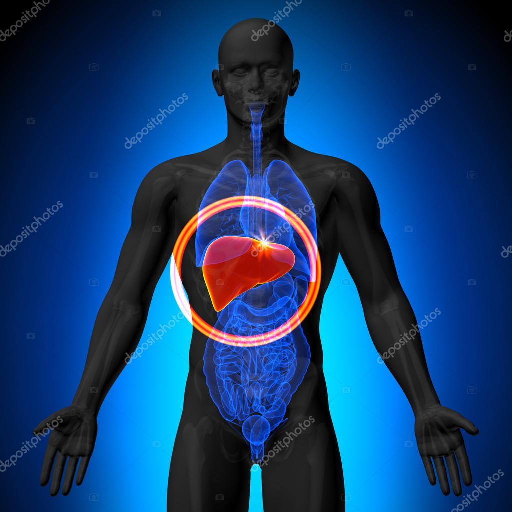 hígado - anatomía masculina de órganos humanos - vista de rayos x ...