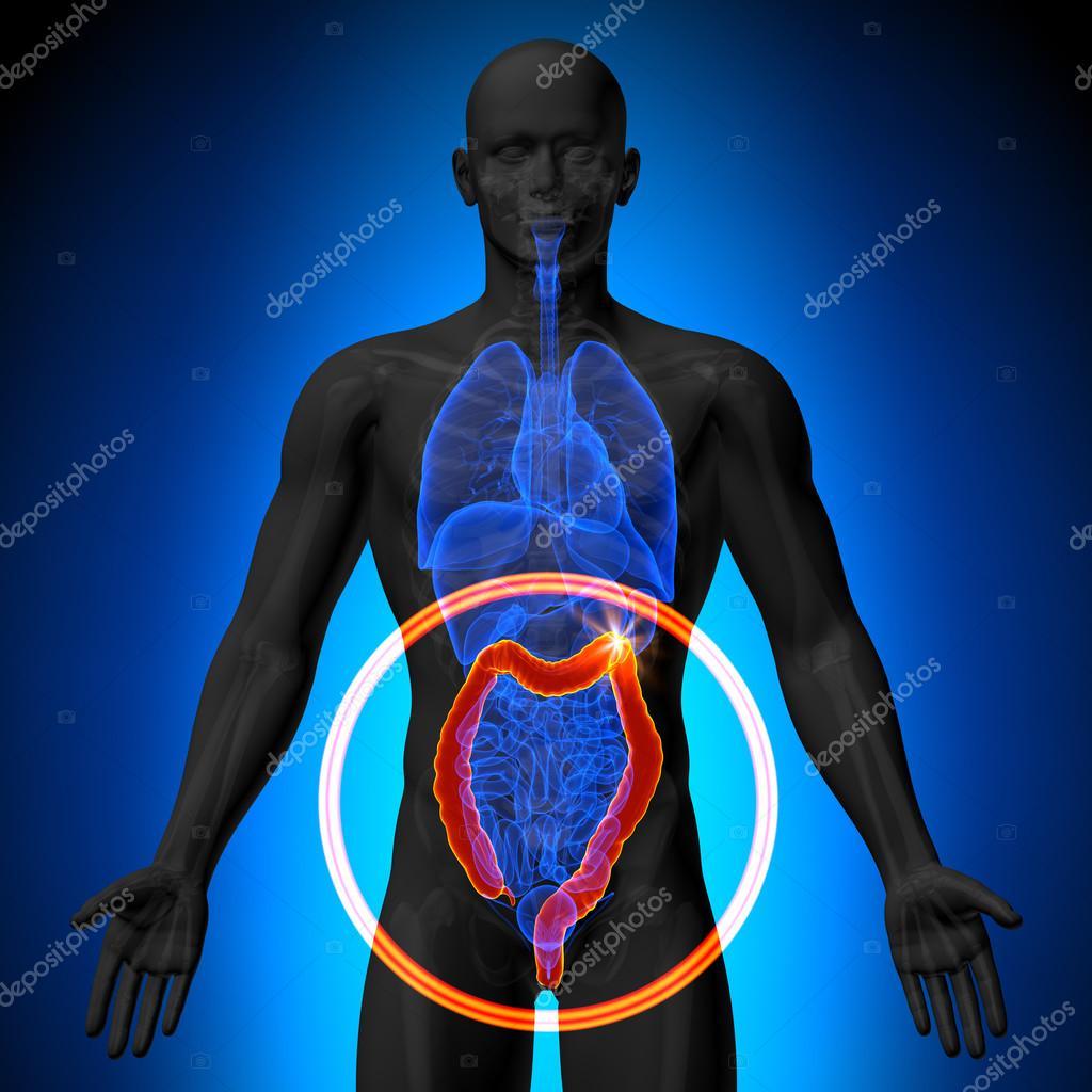Doppelpunkt groß Instestine - männliche Anatomie menschlicher Organe ...