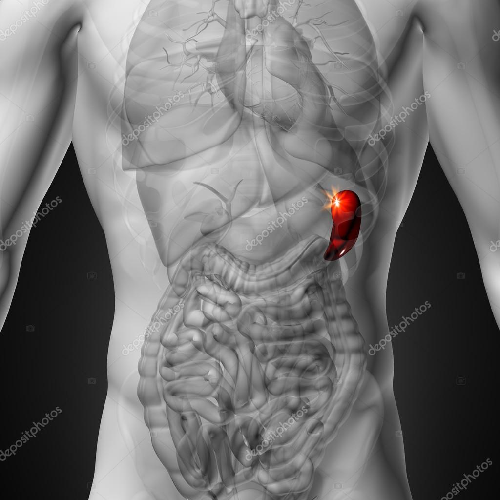 vista del bazo - anatomía masculina de órganos humanos - rayos x ...