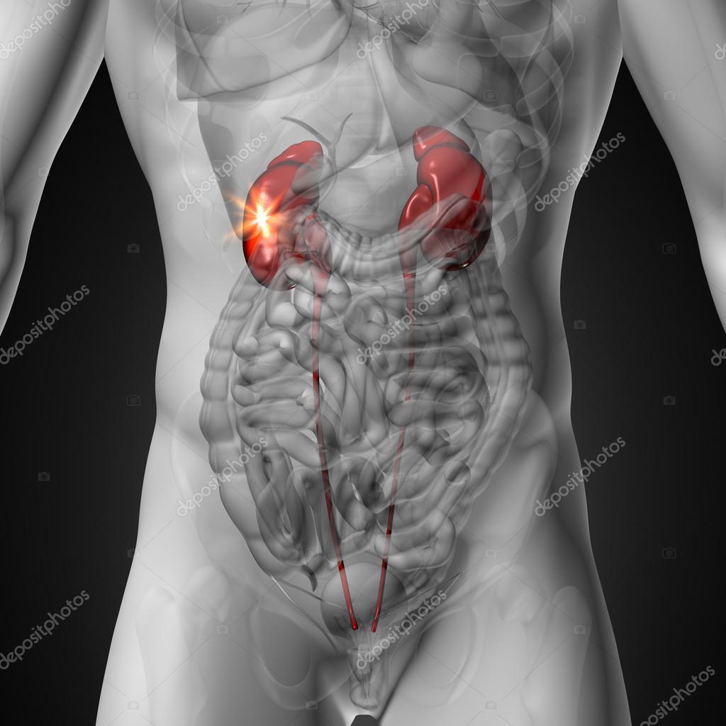riñones - Anatomía masculina de órganos humanos - vista de rayos x ...