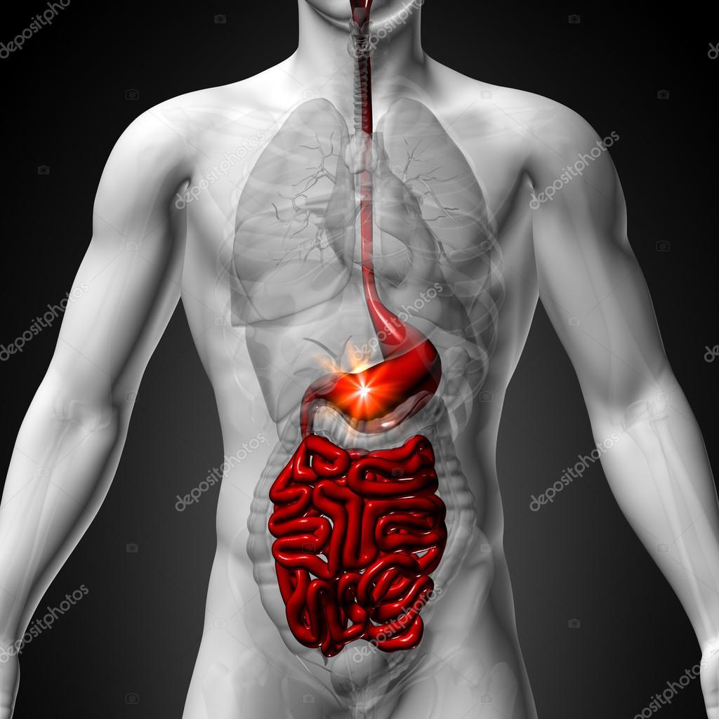 Stomach Guts Small Interstine Male Anatomy Of Human Organs X Ray