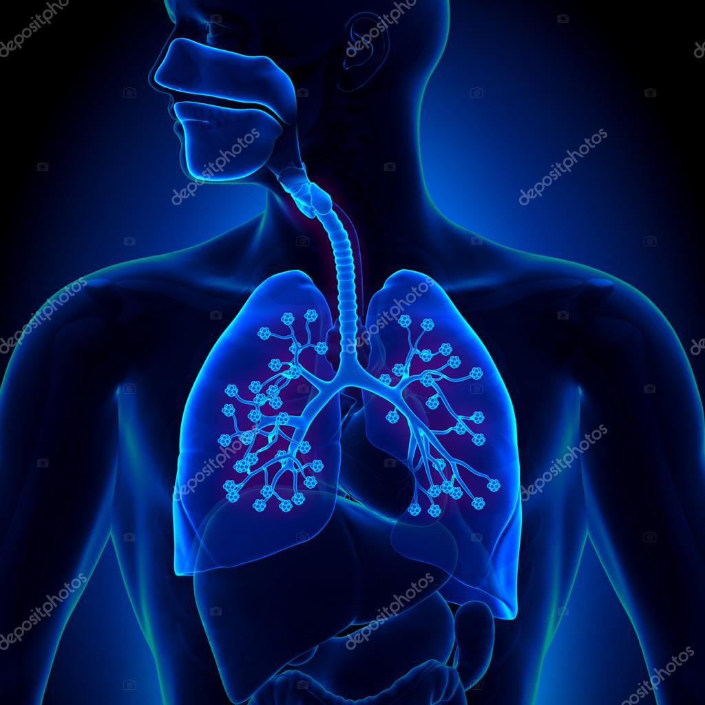 Anatomía de los pulmones - con alvéolos detallados — Foto de stock ...