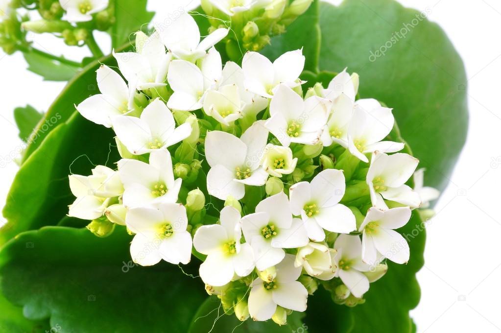 Fleur Kalanchoe Blanc Isole Photographie Bacho123456 C 26148659