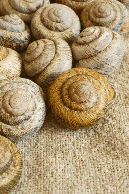 Snail shell.