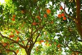pomerančovníku