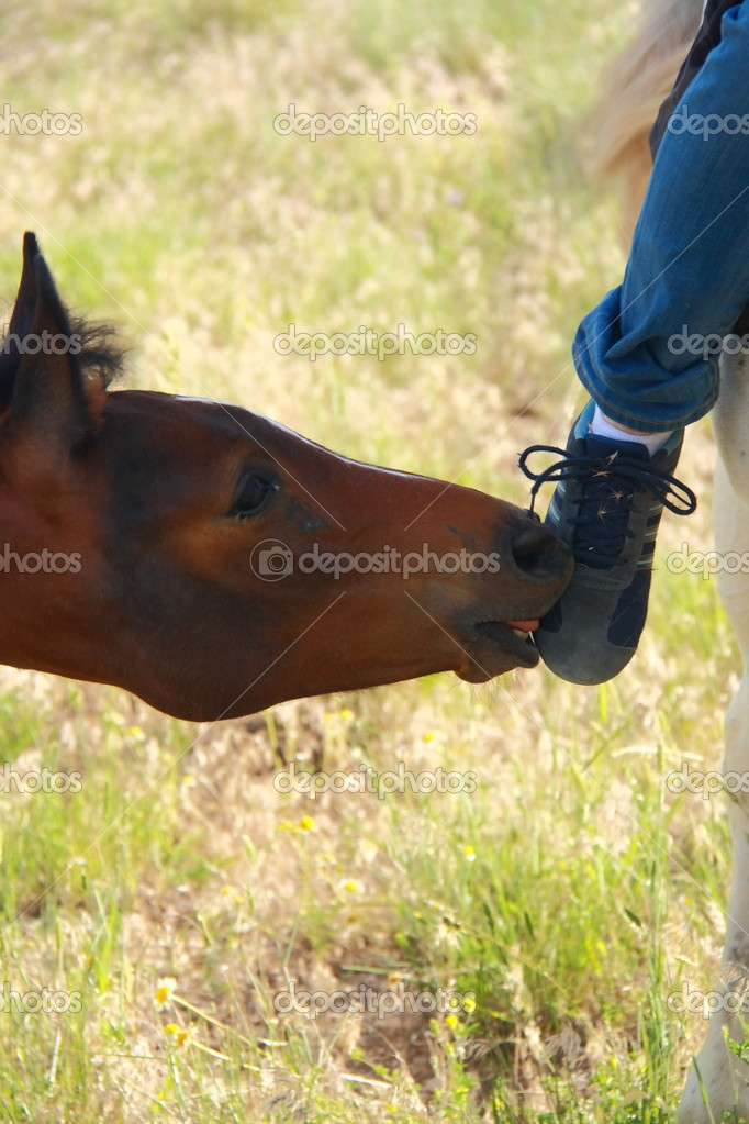 foal playing with girl and licking shoe