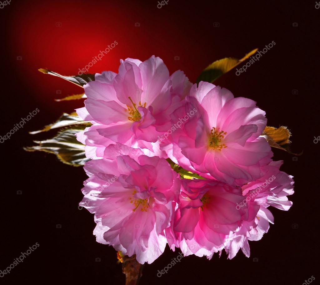 Pink abloom japanese cherry (sakura) blossom
