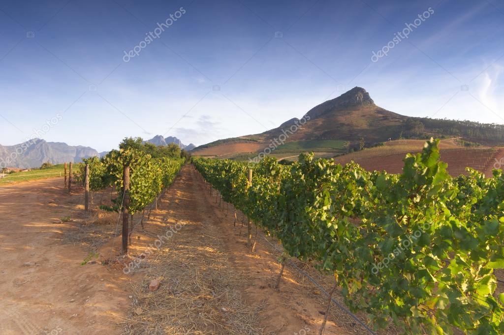 Vineyards around Stellenbosch, Western Cape, South Africa, Afric