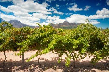 The Stellenbosch wine lands region near Cape Town
