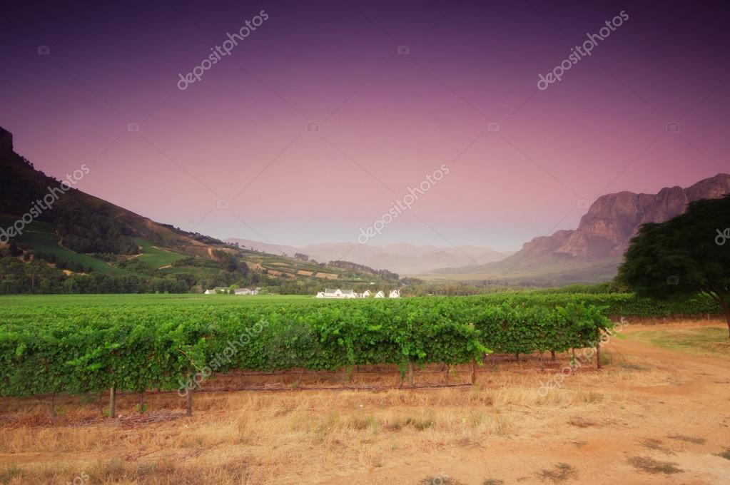 Landscape image of a vineyard, Stellenbosch, South Africa