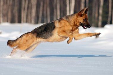 German shepherd dog running in the snow
