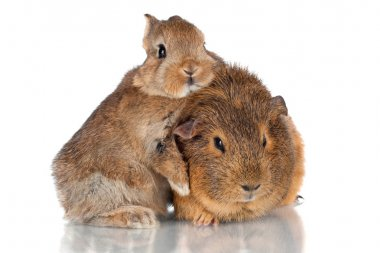 adorable fluffy baby rabbit and guinea pig