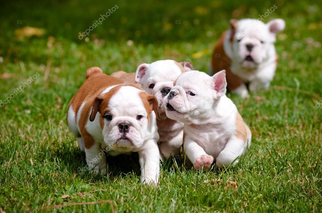 ᐈ English Bulldog Puppy Stock Pictures Royalty Free English Bulldog Images Download On Depositphotos