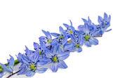 První květy bluebell