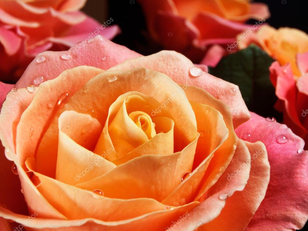 Closeup colorful roses (pink, yellow, orange).