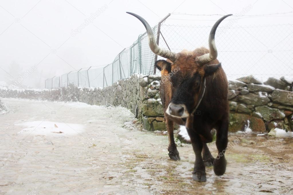 бык и ковбой фото