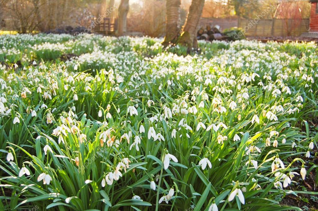 Snowdrop Garden Stock Photo C Fionadeaton 17692181