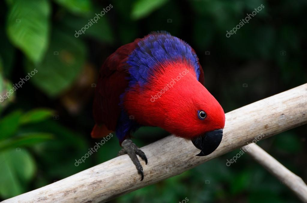 Red parrot look