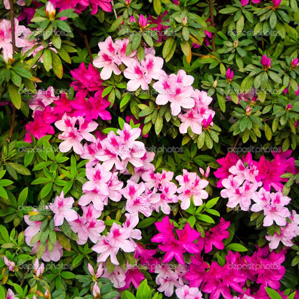 Buisson de fleur rose photographie qliebin 44601367 - Taille des groseillers ...