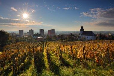 Rows of vines to sunrise in Bratislava
