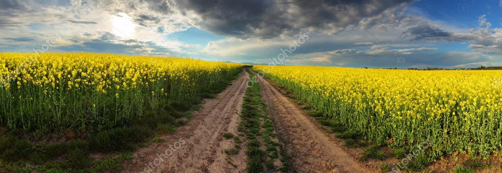 Sunset over canola field with path  in Slovakia - panorama