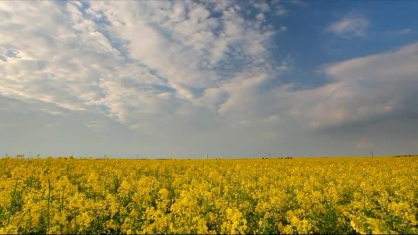 Canola rape yellow field, time lapse