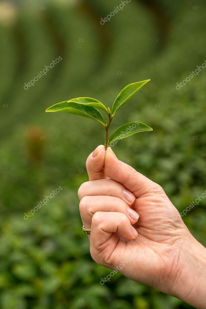 Green tea fresh leaves. Harvesting tea plantation. Thailand. Tea plantations. Northern Thailand, Chiang Rai