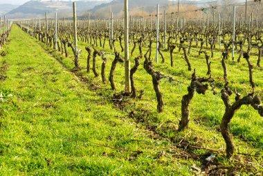 Vineyards in December, Haro, Spain