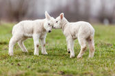 Fotografie ovce