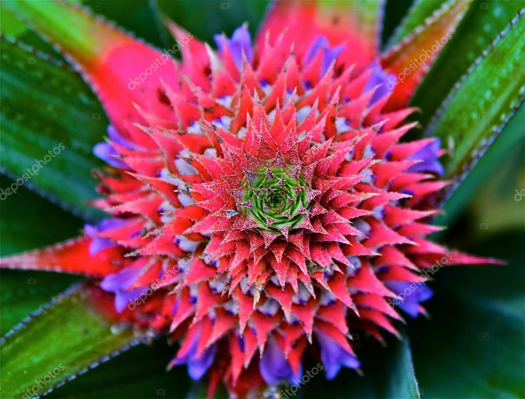 Red Pineapple Flower And Leafs Stock Photo C Ismedhasibuan 18751569