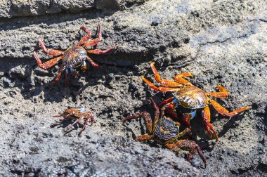 A Sally Lightfoot Crabs (Grapsus grapsus) in the Galapagos Islands