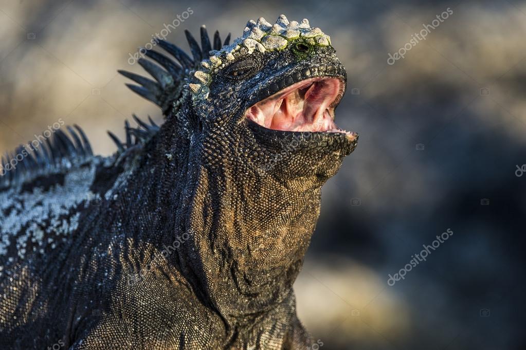 Closeup of Galapagos iguanas with open mouth