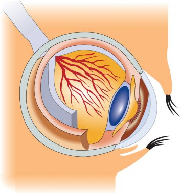 Eye. structure of the human eye