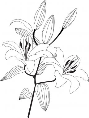 Bouquet from white lily, graphic