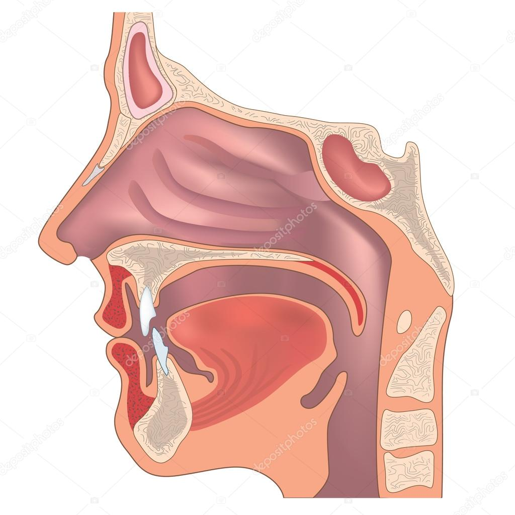 Anatomy of the nose and throat. — Stock Vector © YokoDesign #20002661