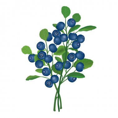 Blueberry branch. Ripe berry with leaves. Vector illustration