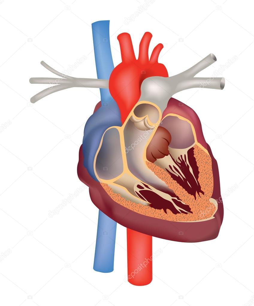 Herz-Anatomie-Vektor-Illustration. Herz Querschnitt — Stockvektor ...