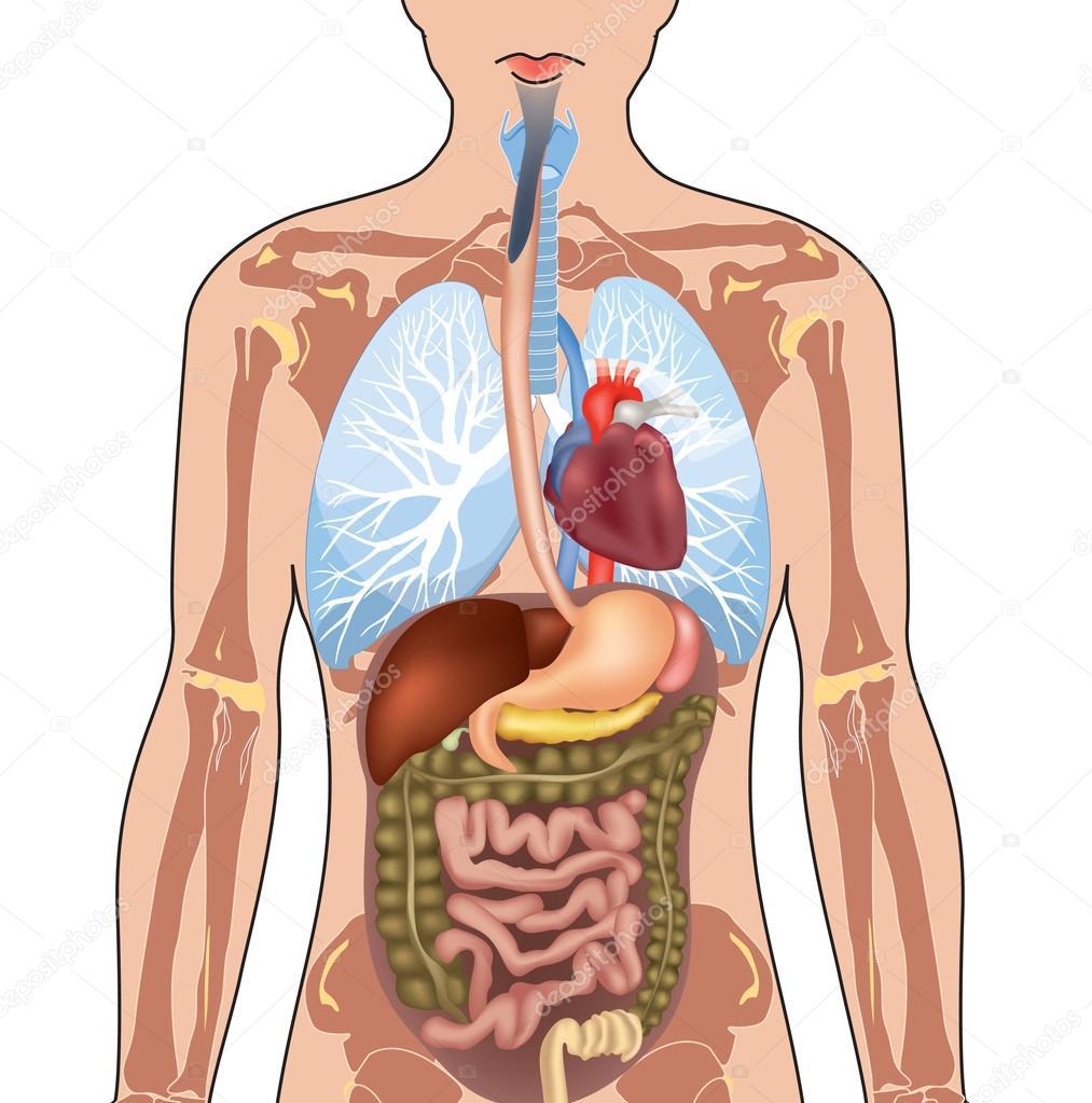 Anatomía del cuerpo humano — Vector de stock © YokoDesign #30041757