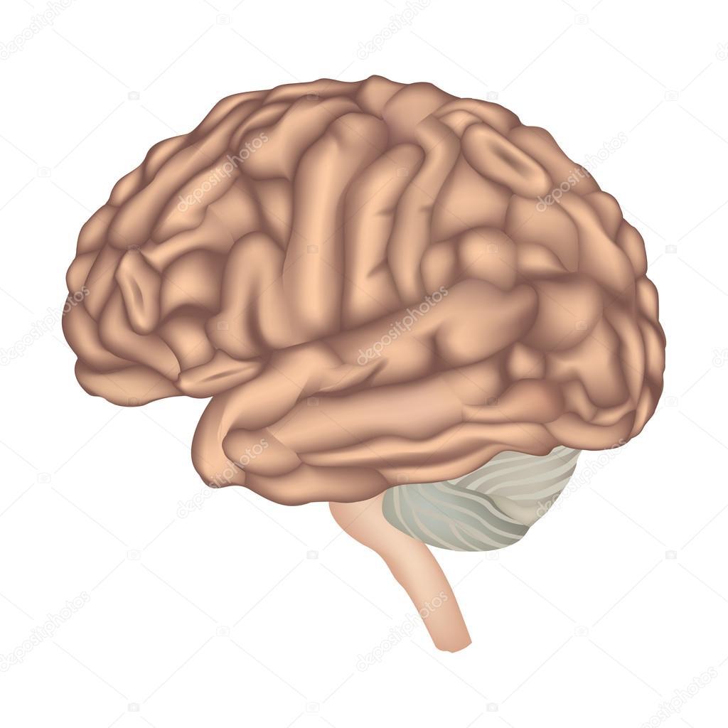 Gehirn Anatomie. menschliche Gehirn Seitenansicht — Stockvektor ...