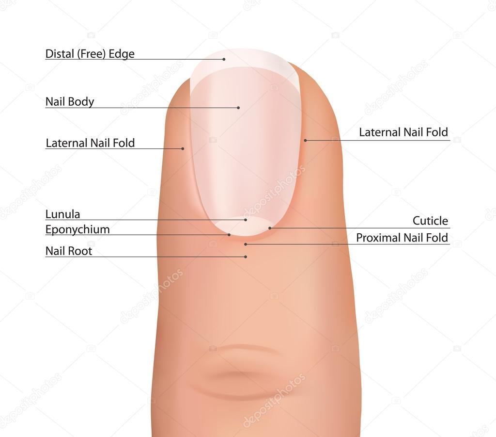 Nail finger anatomy. — Stock Vector © YokoDesign #40598591