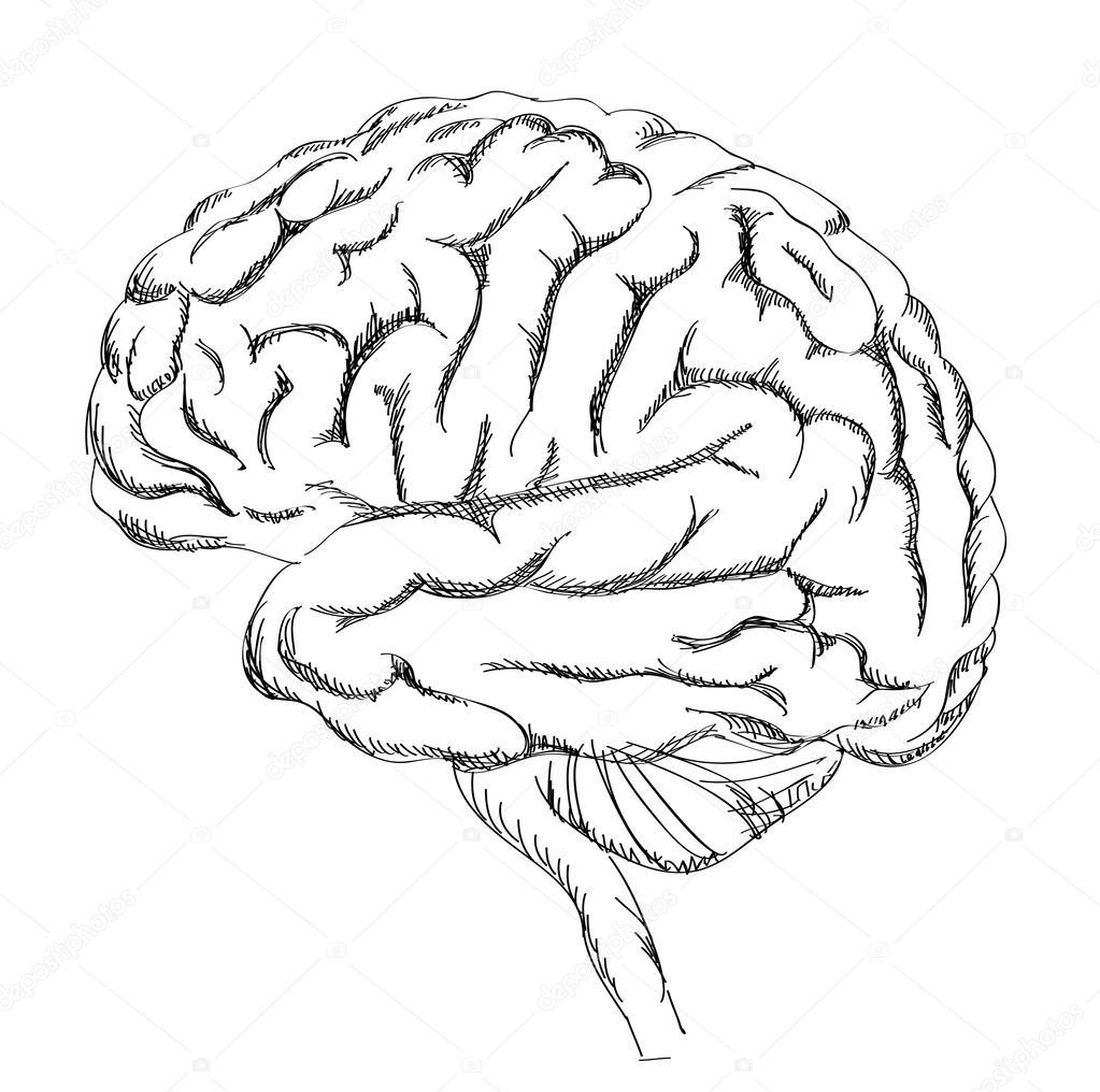 Anatomía del cerebro — Archivo Imágenes Vectoriales © YokoDesign ...