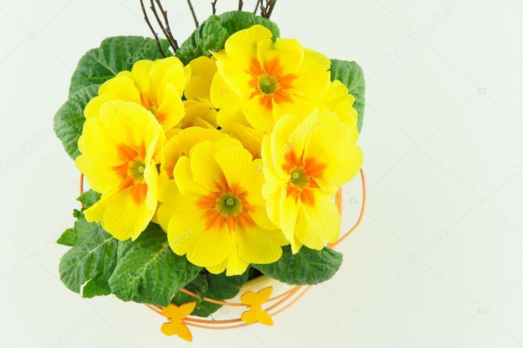 Primule gialle in un vaso di fiori foto stock hsfoto for Primule immagini