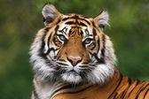 Fotografie detailliertes Portrait eines Tigers benegal