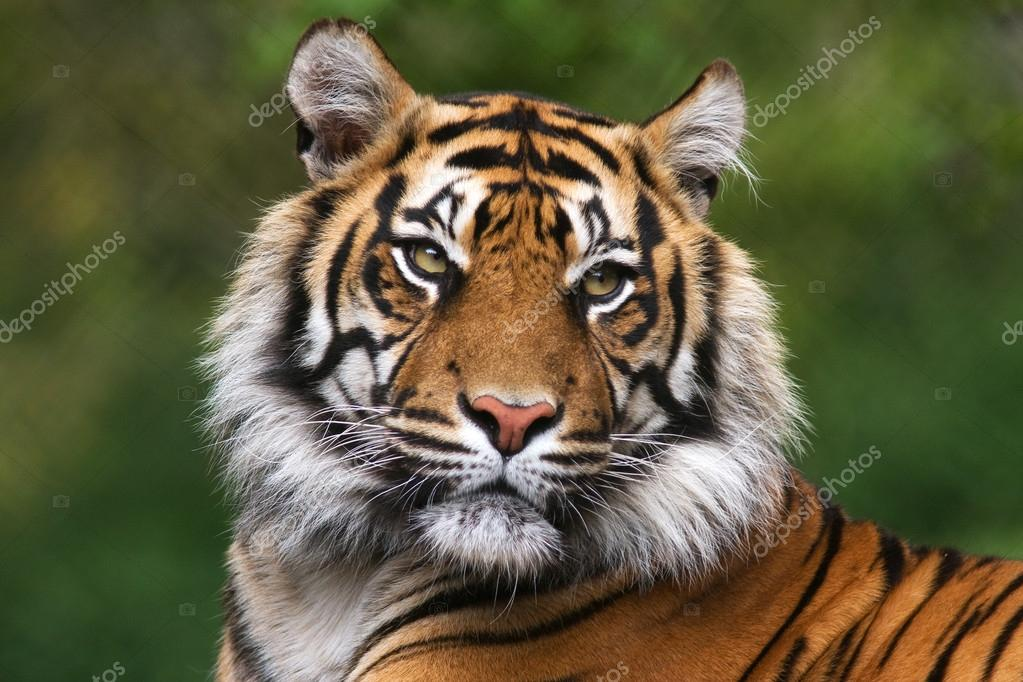 Detailed portrait of a Benegal Tiger