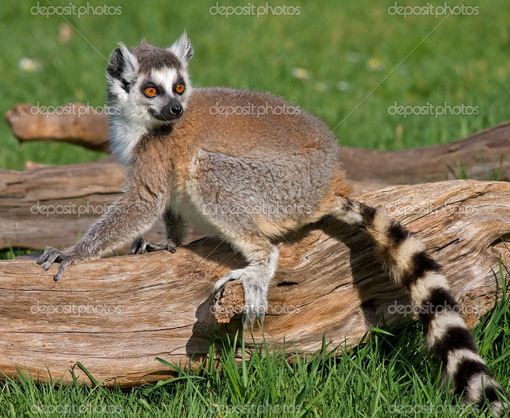 Young playful ring tailed lemur.