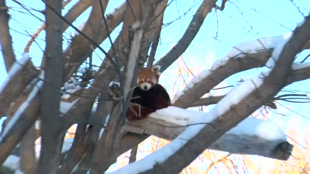 Red Fox sits in tree