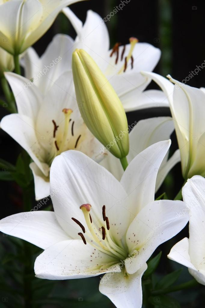 White Lily flowers in the garden