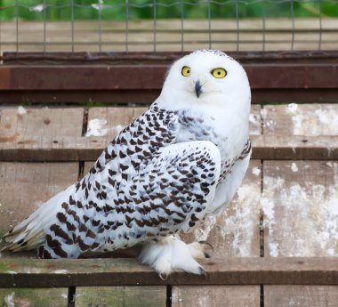 Snowy white owl sitting in cage