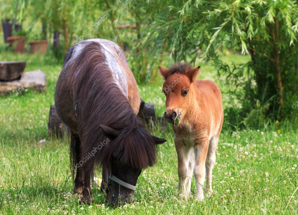 Two mini horses Falabella on meadow in summer, selective focus
