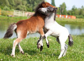 Two mini horses Falabella playing on meadow, bay and white, sele